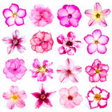 Collection of pink flowers isolated on white background. Stock Photos