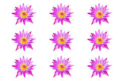 collection pink lotus water lily blooming isolated on white background Stock Photography