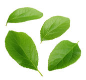 Collection of plum leaves isolated on white Stock Photo