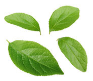 Collection of plum leaves isolated on white Royalty Free Stock Photos