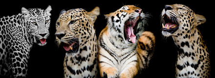 Collection of portraits of Tigers and Leopard.(And you could fin. Collection of portraits of Tigers and Leopard black color background.(And you could find more Royalty Free Stock Image