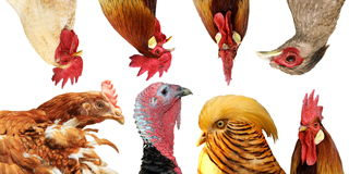 Collection of poultry portraits Stock Image