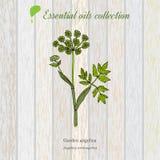 Collection pure d'huile essentielle, angélique officinale Fond en bois de texture illustration libre de droits