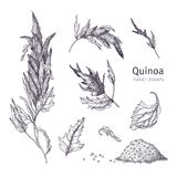 Collection of quinoa flowering plants, leaves and seeds hand drawn with black contour lines on white background. Set of stock illustration