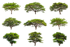 Collection of Rain trees (Samanea saman) Royalty Free Stock Images