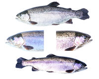 Collection of Rainbow trout (Oncorhynchus mykiss) females Royalty Free Stock Images