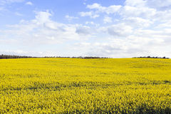 Collection rapeseed crop Royalty Free Stock Photography