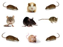 Collection of Rats Stock Image