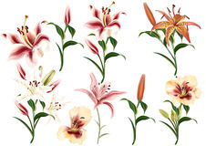 Collection of realistic flowers of lilies Stock Photos