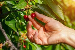 The collection of red cherries hand tear the berries from the branch stock photography
