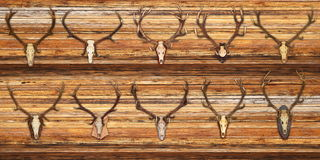 Collection of red deer trophies on wood background Stock Image