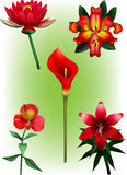 A Collection of Red Lily Vector Illustrations Royalty Free Stock Image