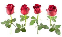 Collection of red rose isolated Stock Image