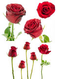 Collection of  red rose on white background. Stock Image
