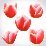 Collection of Red Tulips heads for design. Set of floral buds Royalty Free Stock Photos