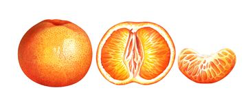 Collection of ripe watercolor tangerines isolated on white background. Hand drawn botanical illustration. Set of ripe tangerines isolated on white background Stock Photography