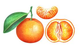 Collection of ripe watercolor tangerines isolated on white background. Set of ripe tangerines isolated on white background. Hand drawn watercolor illustration royalty free illustration
