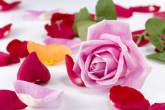 Collection of rose petals with a pink rose on top Stock Images