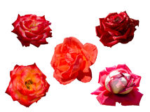 Collection of 5 roses, isolated Royalty Free Stock Image