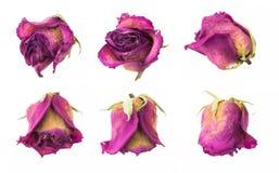Collection rouge sèche de boutons de rose, d'isolement sur le blanc Photo stock