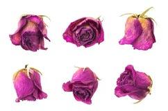 Collection rouge sèche de boutons de rose, d'isolement sur le blanc Photographie stock