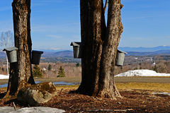 A collection of sap pails with a scenic view. Maple trees with a collection of sap buckets tapped and hanging from the tree to collect the sap that is dripping stock images