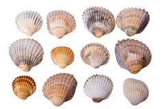Collection of sea cockleshells Royalty Free Stock Photo