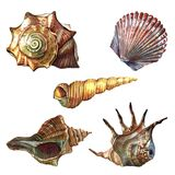 A collection of sea shells painted with watercolor. Illustration of sea shells on a white background. Beach. Coast. A set of isolated drawings stock illustration