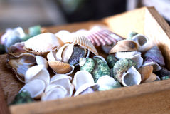Collection of Sea Shells in Wooden Box Stock Images