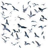 Collection of seagulls in flight. sea birds. Stock Photography