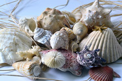 Collection of seashells. Royalty Free Stock Image