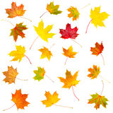 Collection set of beautiful colourful autumn isolated leaves Stock Photography