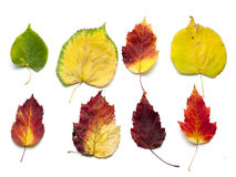 Collection set of beautiful colourful autumn leaves isolated on Royalty Free Stock Photography