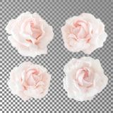Collection or set of beautiful cream pink roses isolated on transparent background. Flowering open heads of roses without leaves. Close-up rose petals Royalty Free Stock Photography
