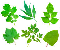 Collection set of Green Fresh Leaves Royalty Free Stock Photo