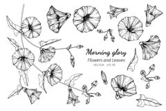 Collection set of morning glory flower and leaves drawing illustration. For pattern, logo, template, banner, posters, invitation and greeting card design royalty free illustration