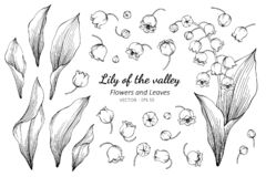 Free Collection Set Of Lily Of The Valley Flower And Leaves Drawing Illustration Stock Photos - 142042813