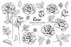 Collection set of rose flower and leaves drawing illustration. For pattern, logo, template, banner, posters, invitation and greeting card design stock illustration