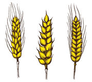 Collection set of wheat ears. Hand drawings vector illustration sketch Royalty Free Stock Photo