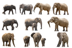 Collection of several elephants isolated on white background. Seen and shot in namibia, africa Royalty Free Stock Images