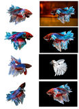 Collection of Siamese fighting fish. Royalty Free Stock Photo