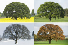Collection of Single oak tree in four seasons Stock Image