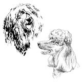 A collection of sketches breed dogs. Isolated hand drawings. Animal concept. A set of drawings of adult dog poodle. Highly detailed. Hand drawing sketch. Ink Stock Photos