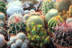 Collection of small cacti Royalty Free Stock Image