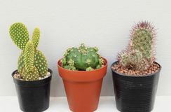 Collection of small cactus or succulent plants on white and grey background royalty free stock image
