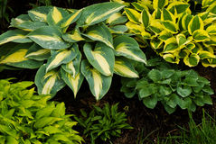 Collection of small hostas Royalty Free Stock Photo