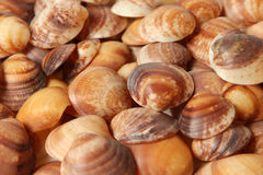 Collection of small seashells Stock Image
