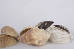 Seashells on white background. A collection of small seashells on a white background. Souvenirs from a trip to the beach royalty free stock image