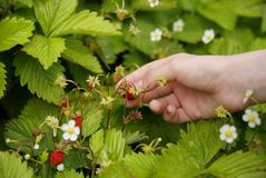 Collection of strawberries Stock Image