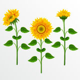 Collection of sunflowers. Stock Images